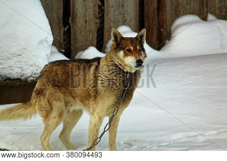 Lonely Dog In A Collar On A Chain In The Winter Frost. Pets In Captivity