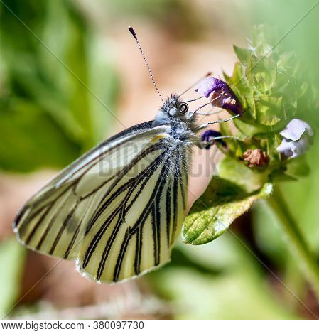 Margined White (pieris Marginalis) Butterfly Drinking Nectar From A Flower. San Mateo County, Califo