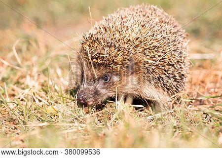 Hedgehog, (scientific Name: Erinaceus Europaeus) Wild, Native, European Hedgehog In Natural Garden H