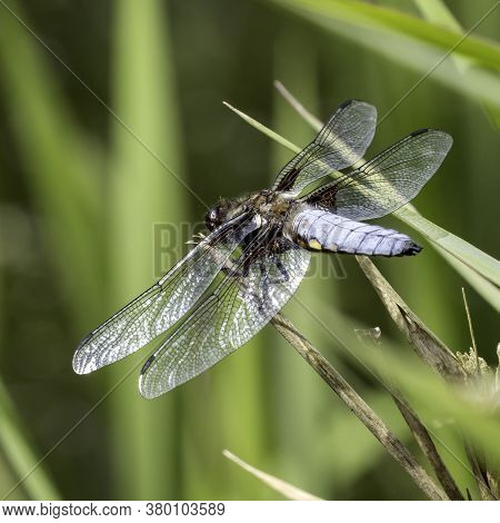 A Broad-bodied Chaser Dragonfly (libellula Depressa) Perched On Branch In Local Woodlands