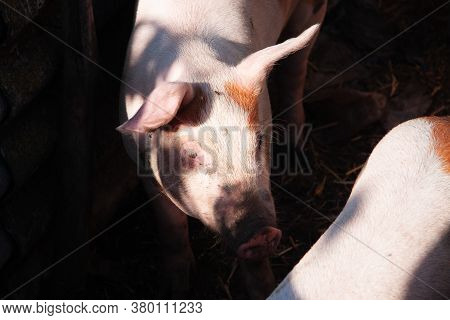 Fattening Pigs On A Large Commodity Breeding Pigs Look At The