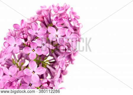 Purple Lilac Flowers. Blooming Spring Lilac Flowers, Spring Background