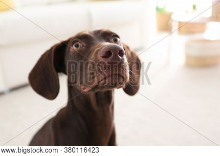 Beautiful Brown German Shorthaired Pointer Dog At Home