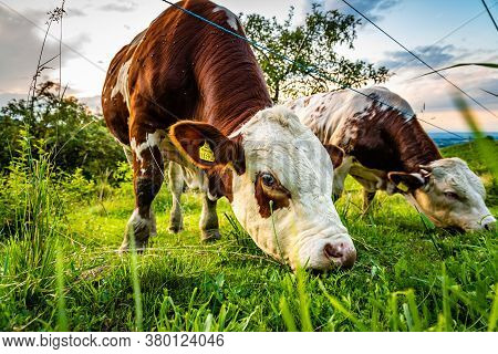 Cows Grazing On A Lovely Green Pasture At Vinneyards In Styria, Austria
