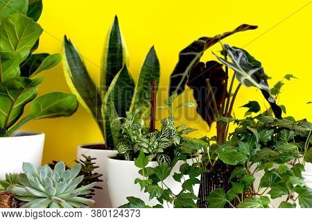 Indoor Home Garden Plants. Collection Various Flowers - Snake Plant, Succulents, Ficus Pumila, Lyrat
