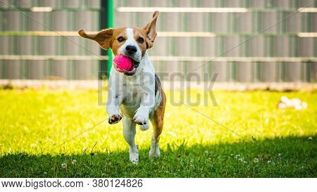 Cute Tricolor Beagle Dog Runs Toward Camera With Toy In His Mouth. Happy Dog Outdoors.