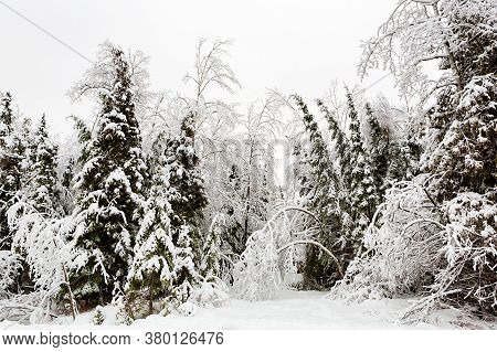Snow Covered Trees Bow Under The Weight Of The Snow At The Entrance To The Woods