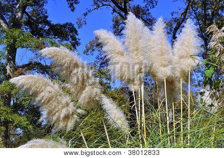 White Pampas Ornamental Grass