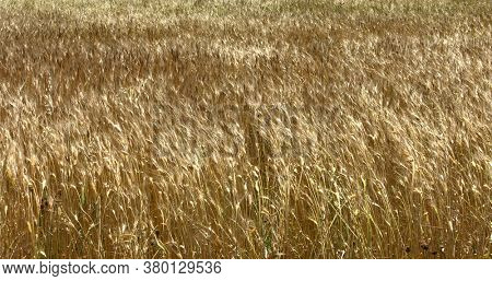 Countryside background with golden grain growing on field.