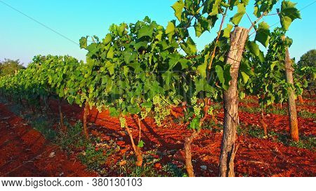 Walk on path between grape's bushes on field. Fruit's harvest. Wine concept.
