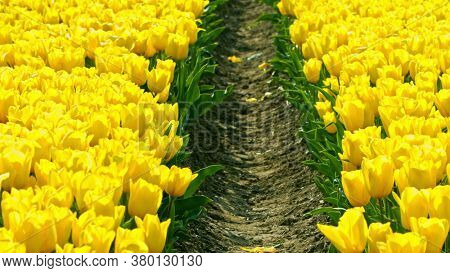 Yellow tulips growing on field in sunny day. Dutch tulips for export.
