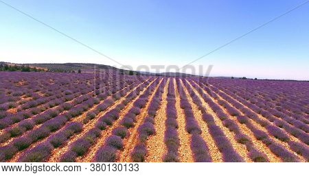Country landscape with lavender fields. Plants growing in rows.
