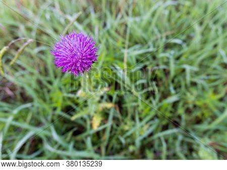 A Close-up Of A Bright Purple Wildflower Growing In A Grassy Field In Summer; Landscape View