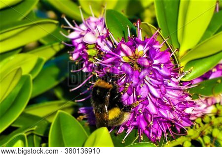 Purple Flower With A Bumblebee In Green Background