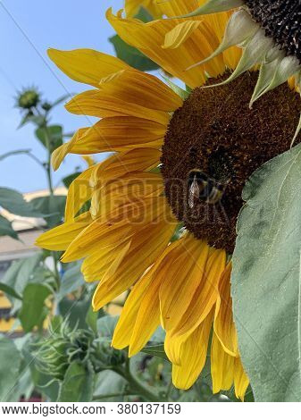 Autumn Sunflowers With Yellow Petals And Black Middle And Bumblebee Against The Blue Sky
