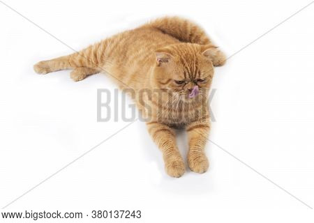 Studio Shot Of Cute Scottish Fold Cat Lay Down On Floor, Sticking Out Its Tongue And Licking Its Nos