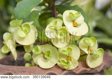 Yellow Euphorbia Milli Or Crown Of Thorns Flower Bloom In Pot In The Garden On Blur Nature Backgroun
