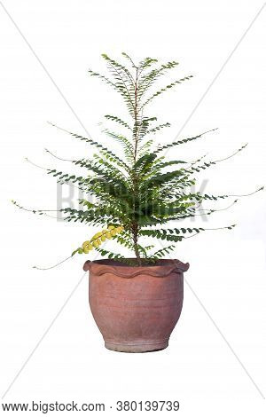Phyllanthus Pulcher Wall Flower And Leaf Is Thai Herb In Brown Pot On White Background.