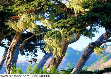 Windswept Cypress Pine Trees Covered With Moss Overlooking The Pacific Ocean Taken In The Rugged Big