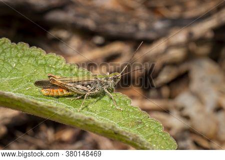 Grasshopper Sits On A Leaf Against A Blurred Background