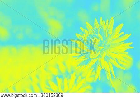 Yellow Aquamarine Floral Background, Dahlia Flowers. Copy Space