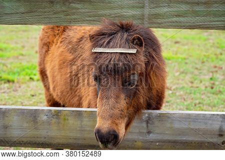 A Miniature Horse With A Hair Comb In His Mane