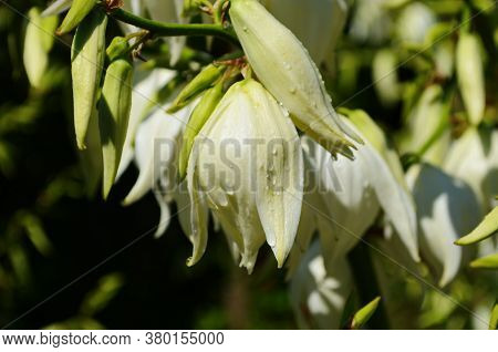 White Yucca Filamentosa Bush Flowers, Other Names Include Adams Needle, Common Yucca