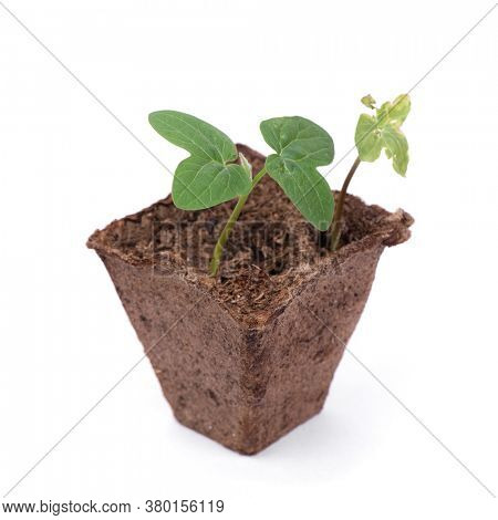 Fresh sprout and wilted sprout in peat pot isolated on white background