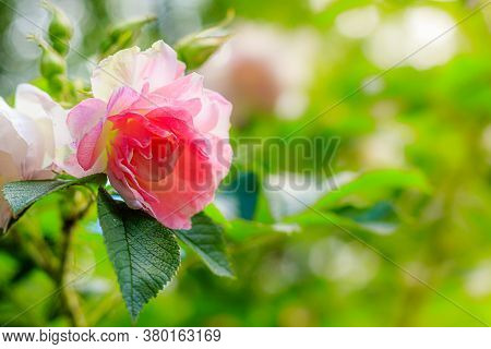 Shrub Rose Greeting Card Copy Space. Beautiful Flower Copy Space. Pink Rose Shrub. Park And Garden F