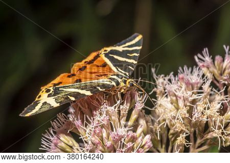 Moth Brown Bear On A Bright Flower While Eating Nectar
