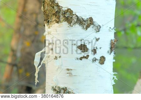 White Trunk Of Birch With Bark, Black And White Pattern, Closeup View. Natural Old Tree Trunk. Camer