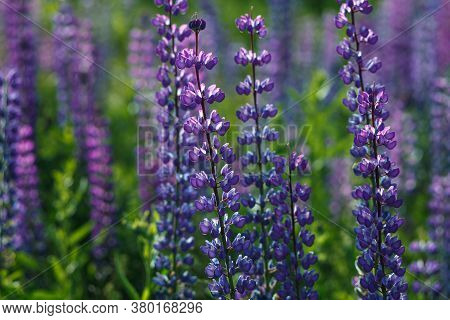 Lupinus Field With Pink Purple, Blue And Violet Flowers. Lupinus Meadow.