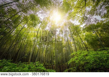 Bamboo Trees In Low Angle; Banbu With Blue Sky; The Low Angle Of Bamboo Trees In Mangroves On A Sunn