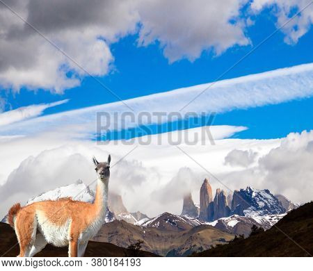 The amazing park of Torres del Paine. Sunset. Guanaco grazes on the prairie of South America. Famous cliffs among clouds and glaciers. The concept of photo tourism