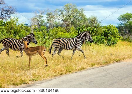 South Africa. Two savannah zebra and antelope crosses a narrow road in the park. Animals live and move freely in the  savannah. The famous Kruger Park. The concept of exotic and photo tourism