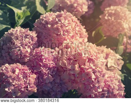 Pink Hydrangea Close-up. Bunch Of Vibrant Pink Blooming Hydrangea Flowers.