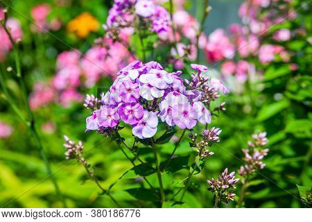 Phlox. Several Inflorescences Of Purple Phlox. Garden Flowers In The Flowerbed. Plants In Their Natu