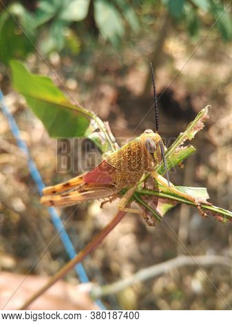 A golden grasshopper in the wild with lighting