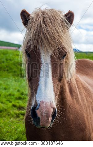 Portraits of fair-haired horse. Only one breed of horse lives in Iceland. Golden summer sunset in the Icelandic summer tundra. Icelandic horses are popular in Europe and North America