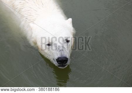 Portrait Of A Polar Bear In The Water