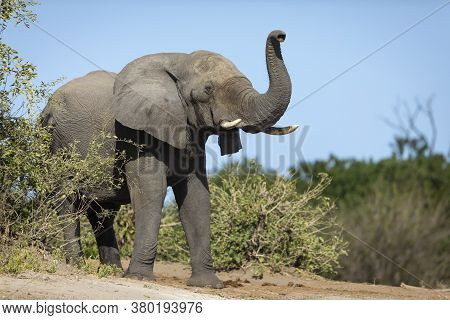 One Alert Elephant Smelling On A Sunny Day With Blue Sky In Chobe National Park In Botswana