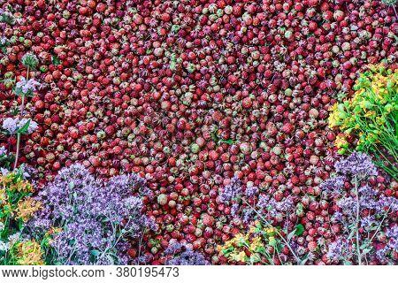 Ripe Wild Strawberries And Fresh Medicinal Herbs (origanum, Hypericum, Leonúrus). Small Ripe Red Ber