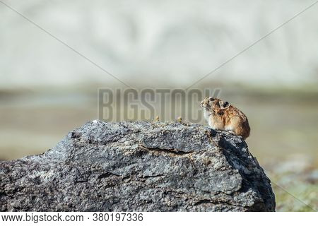 Beautiful Little Pika Rodent Sits On Hot Stone In Sunny Summer Day. Small Pika Rodent Bask In Sun On