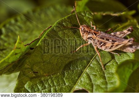 Grasshopper Sits In Green Leaves. Close-up.macro Effect Photo.