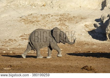 One Baby Elephant With Its Trunk Up Walking In Sunny Late Afternoon In Chobe National Park In Botswa
