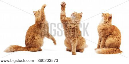 Adult Fluffy Red Cat Sitting And Raised Its Front Paws Up, Imitation Of Holding Any Object, The Cat