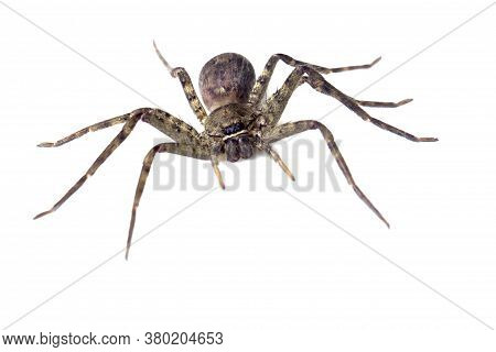 Giant Spider Isolated On A White Background For Graphic Design.poisonous Animals Or Insects That Liv