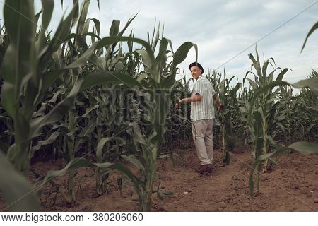 A Fashionable Guy Is Walking In A Cornfield. Sunny Day Outside The City