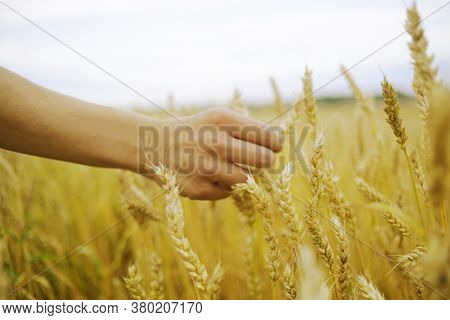 Hand Touches The Cereal. Concept Of Protection And Care For Grain. Shallow Depth Of  Golden Field.