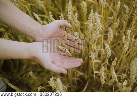 Male Hand Holding A Golden Wheat Ear In The Wheat Field. A Man's Hand Gently Touches The Wheat.